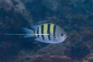 シリテン・タイプの成魚