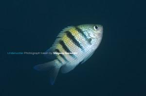 シリテン・タイプの若魚