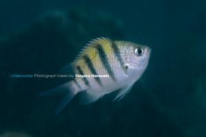 シリテン・タイプの若魚(側線上の鱗は2列)