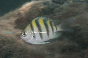 オヤビッチャ・タイプの若魚(側線上の鱗は3列)