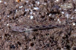 クチサケハゼの若魚