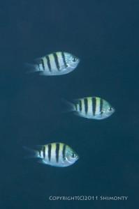 シリテン・タイプの若魚群れ