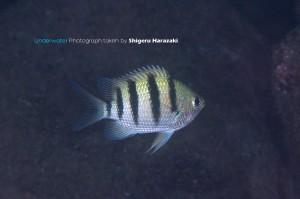 シリテンの若魚(横帯が胸ビレで止まった子)