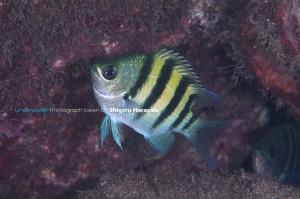 シリテンの若魚(側線の上が広い子)