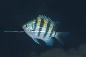シリテンの若魚(左面)