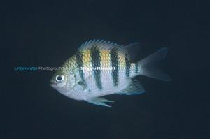 シリテンの若魚(横帯が黒い子)