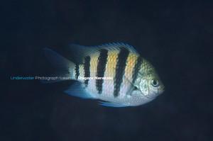 シリテン・タイプの成魚(点が薄い例)