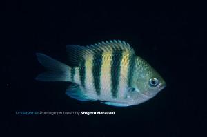 シリテンの若魚(右面)