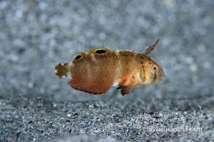 ハゲヒラベラの幼魚