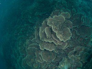 2010年 ウスサザナミサンゴ群落