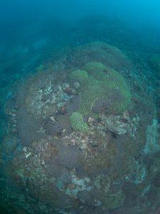 2010年 ハナガタサンゴの仲間が群集する-6m付近