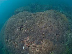 2010年 ハナガタサンゴの仲間1
