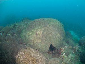 2010年 ハナガタサンゴの仲間2