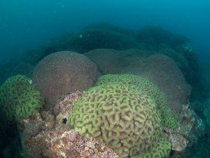 2010年 ハナガタサンゴの仲間3