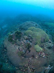 2011年 ハナガタサンゴの仲間が群集する-6m付近