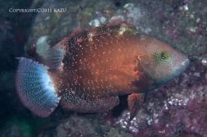 アカテンモチノウオの成魚メス