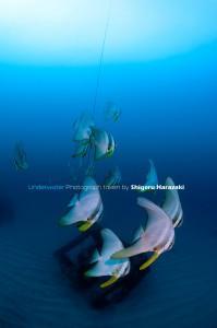 ツバメウオの若魚群れ1