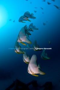 ツバメウオの若魚群れ2
