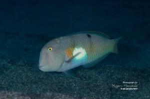 ハゲヒラベラの成魚