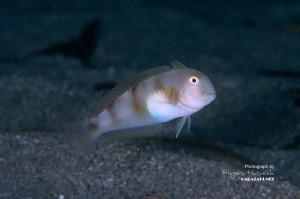 ハゲヒラベラの若魚