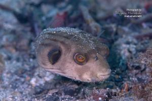 こういう環境には多いスジモヨウフグの若魚