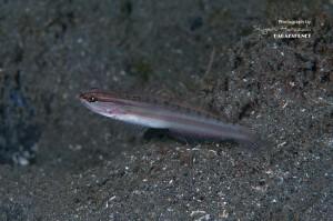 個体が小さいホホベニサラサハゼ