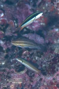 成魚雌相だけどサイズは幼魚!3cm