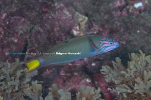 背ビレにまだ黒斑の跡が残る若魚(8cm)