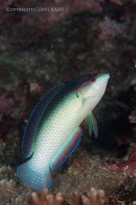 ニューギニアベラのオス