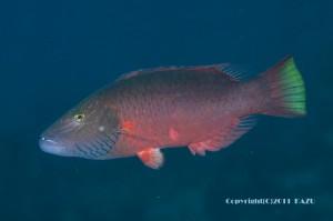 ホホスジモチノウオの成魚