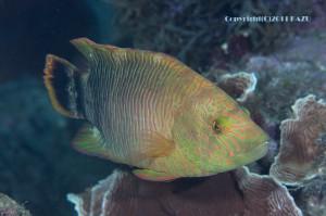 ミツバモチノウオの若魚