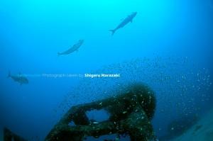 漁礁をグルグルまわっていたヒレナガカンパチ
