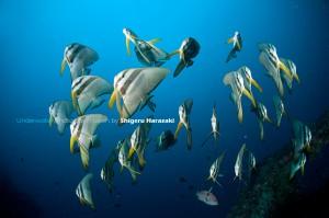 今日は低い位置でまとまってたツバメウオの若魚たち