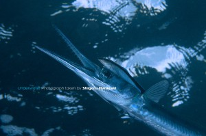 ホンソメのクリーニングを受けるオキザヨリ
