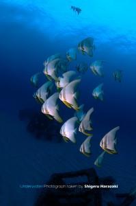 今日はしっかり群れていたツバメウオの若魚たち