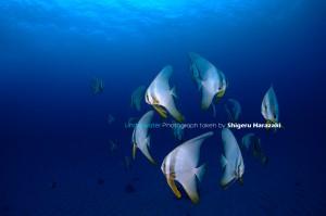 ツバメウオの若魚たち