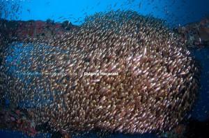 漁礁天井面を覆うキンメモドキ