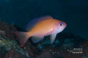 ケラマハナダイの若魚