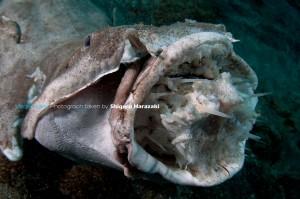 カスザメの口の中にハリセンボン!(・・;