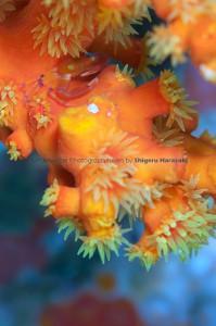 キサンゴに棲むベニサンゴガニ