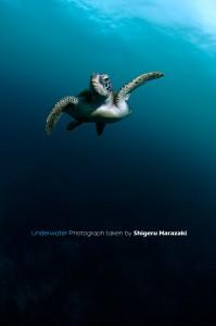 暗~い海をアオウミガメがゆく。。。