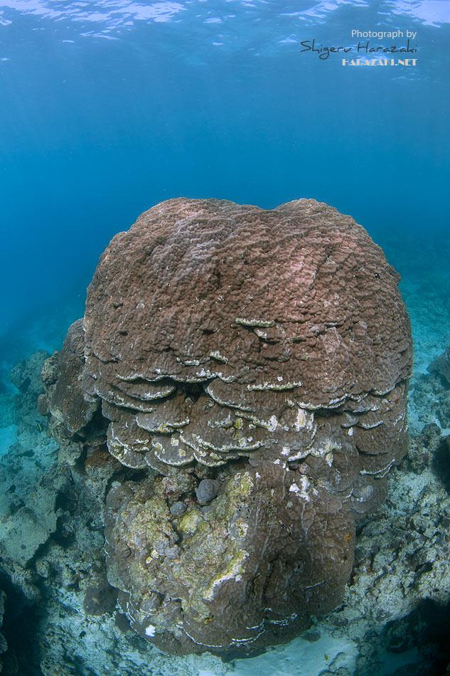 ハマサンゴの群落