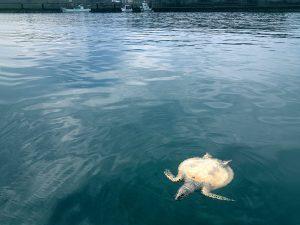 死んだタイマイが港内に浮かんでいた