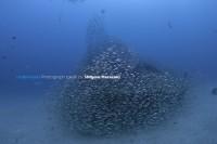1. 最初はこんな感じで漁礁はメアジのチビ達で覆われているけど。。。