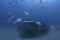 2. ヒレナガカンパチが近づくとみんな一気に漁礁の中へ。。。