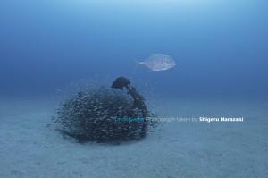 捕食魚がやってくると一斉にゼロ戦に逃げ込む小魚たち