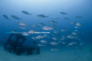 今日も漁礁はヒレナガカンパチが凄かった。