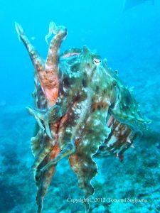 巨大コブシメ