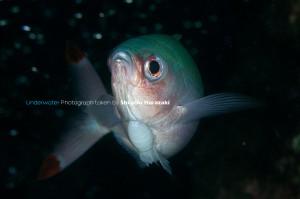 屋久島ではニセタカサゴ10匹中9匹には必ず付く寄生虫