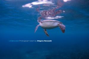 息継ぎをするアオウミガメ